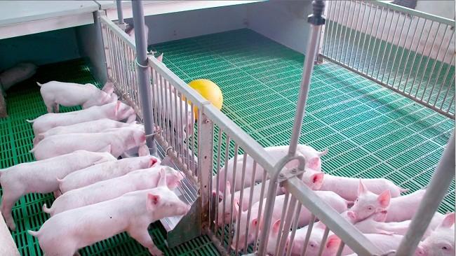 Tái đàn chăn nuôi Heo tại 9 tỉnh trên cả nước